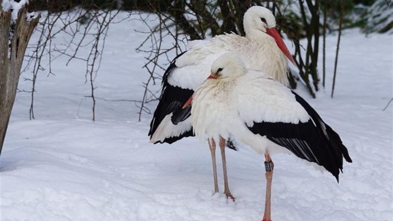 """Результат пошуку зображень за запитом """"лелеки на снігу"""""""